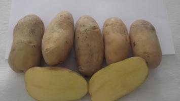 ÜNLENEN Yerli Patates Tohumu