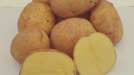 Leventbey Yerli Patates Tohumu