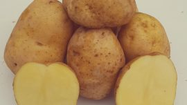 Muratbey Yerli Patates Tohumu