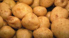 Nam Yerli Patates Tohumu