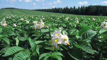 Patates Besin Noksanlıkları